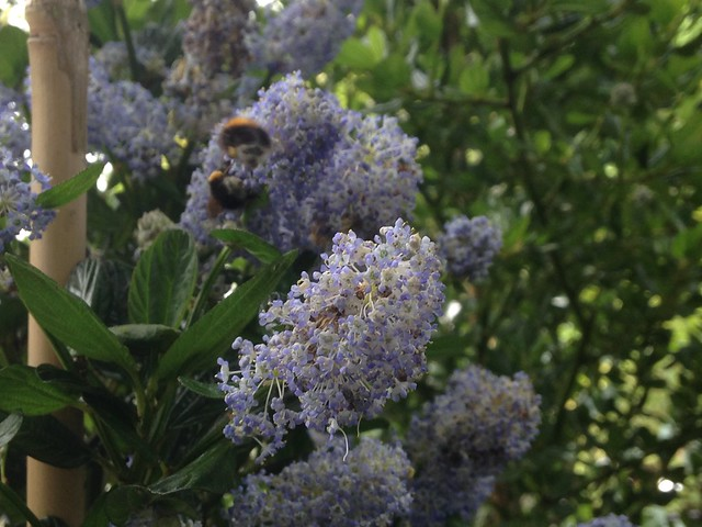 Bees enjoying Ceanothus 'Skylark'