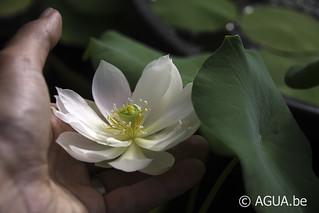 Nelumbo White Crrane