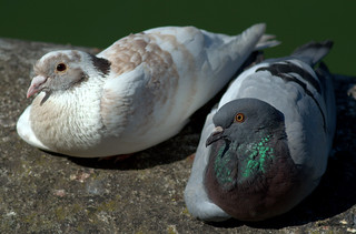 Pair of Pigeons | by Tony Worrall