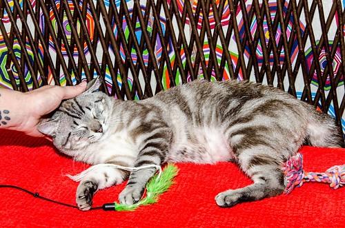 Tango, gato Siamés Tabby de colita corta esterilizado muy guapo, nacido en Enero´16, en adopción. Valencia. ADOPTADO. 35255075852_37e5679857