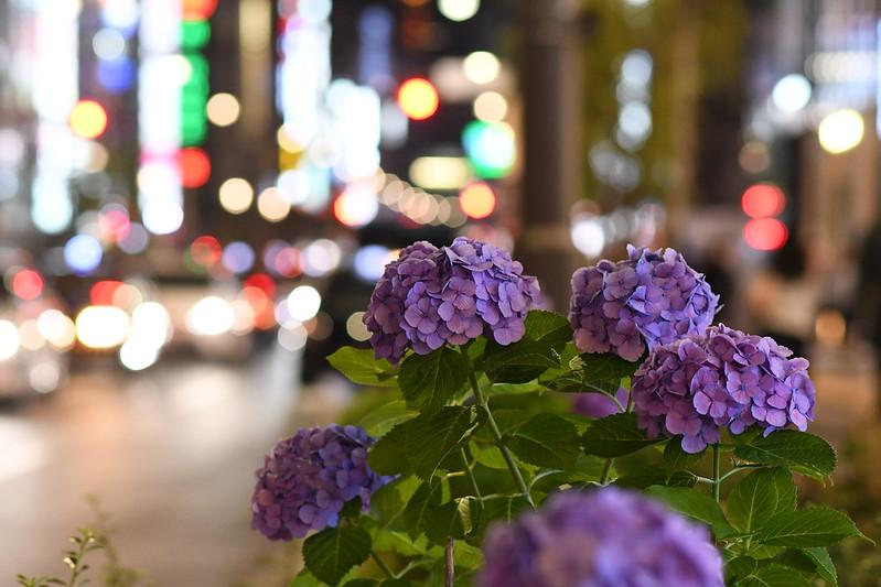 銀座の街中に咲くアジサイ