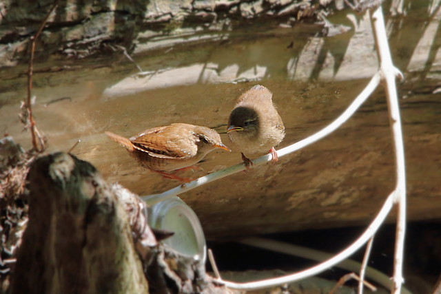 Wren Chick, parent flying off