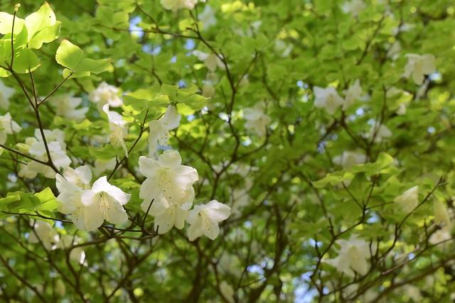 畦ヶ丸に咲く満開のシロヤシオ
