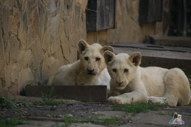 Eisbär Fiete im Sosto Zoo 28.05.2017 191