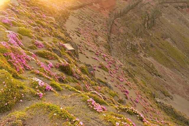 高千穂峰 火口に咲くミヤマキリシマ