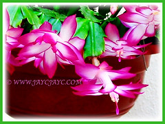 Schlumbergera truncata (Christmas Cactus, Thanksgiving/Holiday Cactus, Zygocactus, Crab Cactus) with beautiful pink flowers, 5 Aug 2005
