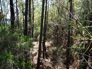 Ambiance typique de la trace au-dessus des cairns dans la première partie de la pinède