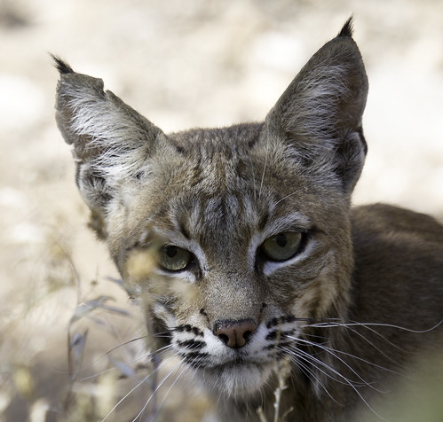 Bobcat | by searchnetmedia