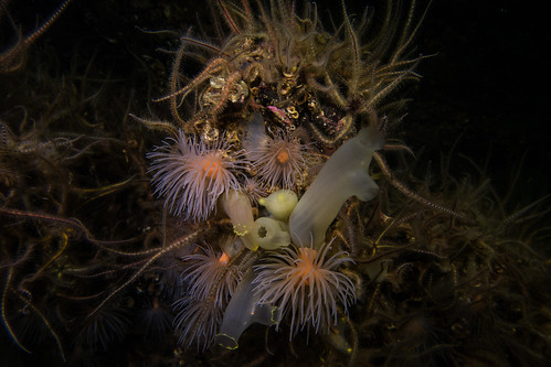 Sea Loch Anemones (Protanthea simplex) & Yellow-rimmed Squirts (Ciona intestinalis) | by Jlynott