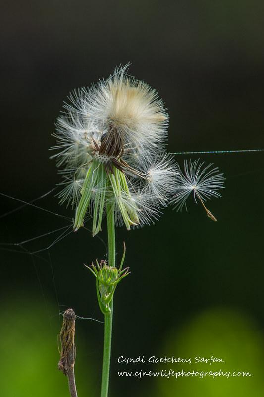 dandelion wabi sabi