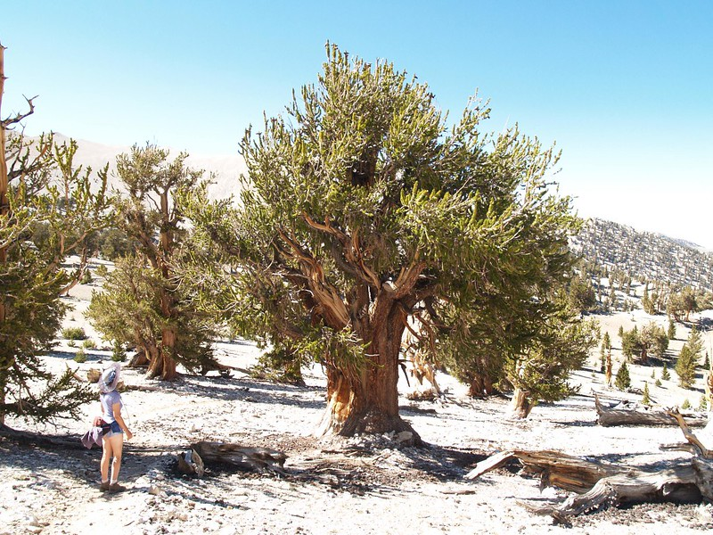 Another large specimen of Bristlecone Pine at the Patriarch Grove
