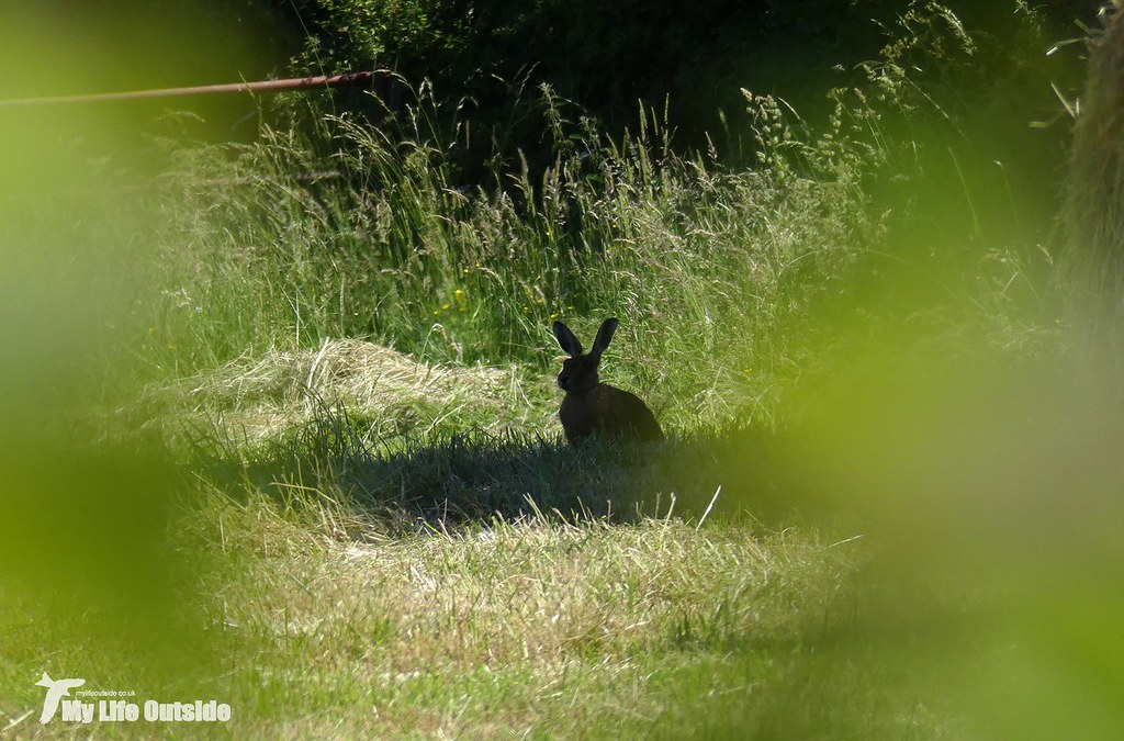 P1080900 - Brown Hare