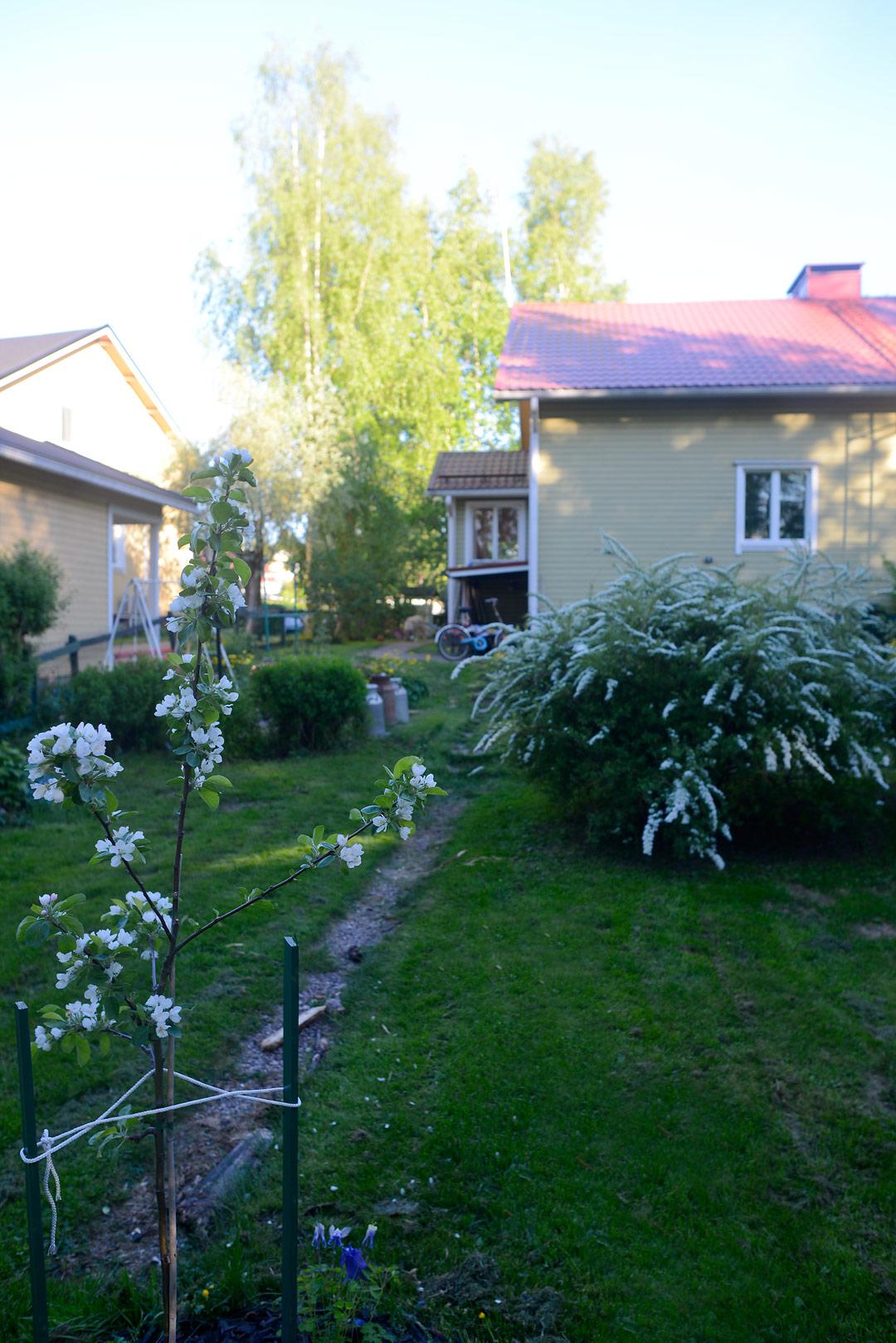Omenapuu ja norjanangervoja rintamamiestalon pihassa