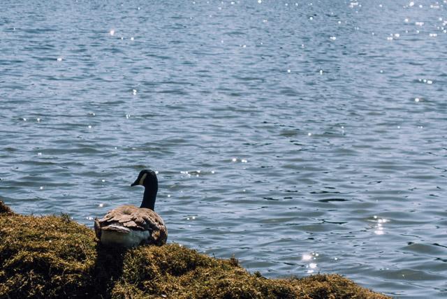 goose on bank next to lake