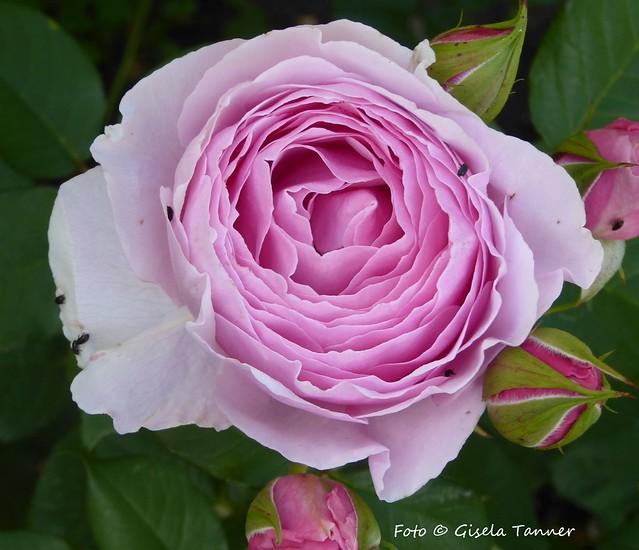Grüße aus meinem Rosengarten ...