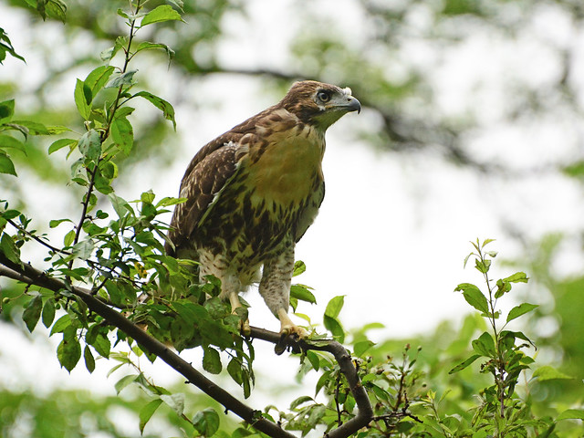 GT Red-Tail Fledgling - 5043