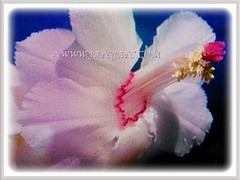 Mesmerizing bicolour white flower of Schlumbergera truncata (Christmas Cactus, Thanksgiving/Holiday Cactus, Zygocactus, Crab Cactus), 18 June 2017