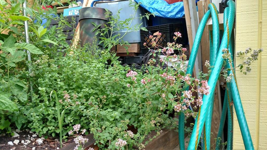 Why I love Oregano in the garden. 35502408531_94defac42e_b