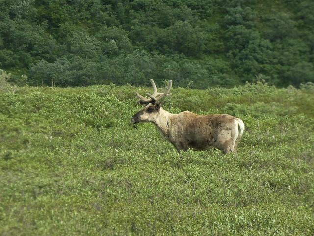 Caribú en Denali (Alaska)