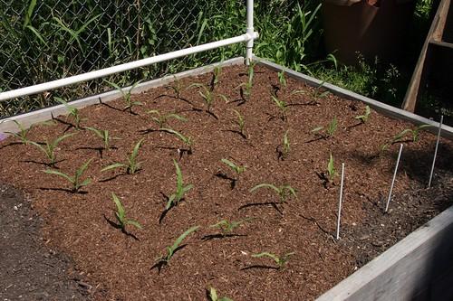 Garden 2017 Corn