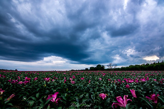 Lily field1 | by walter.roost