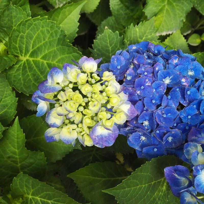 深い青色の紫陽花