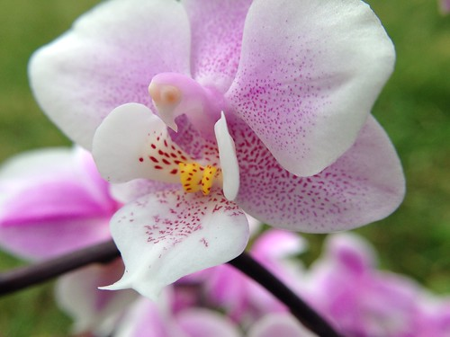 fragrant pink spotty phal