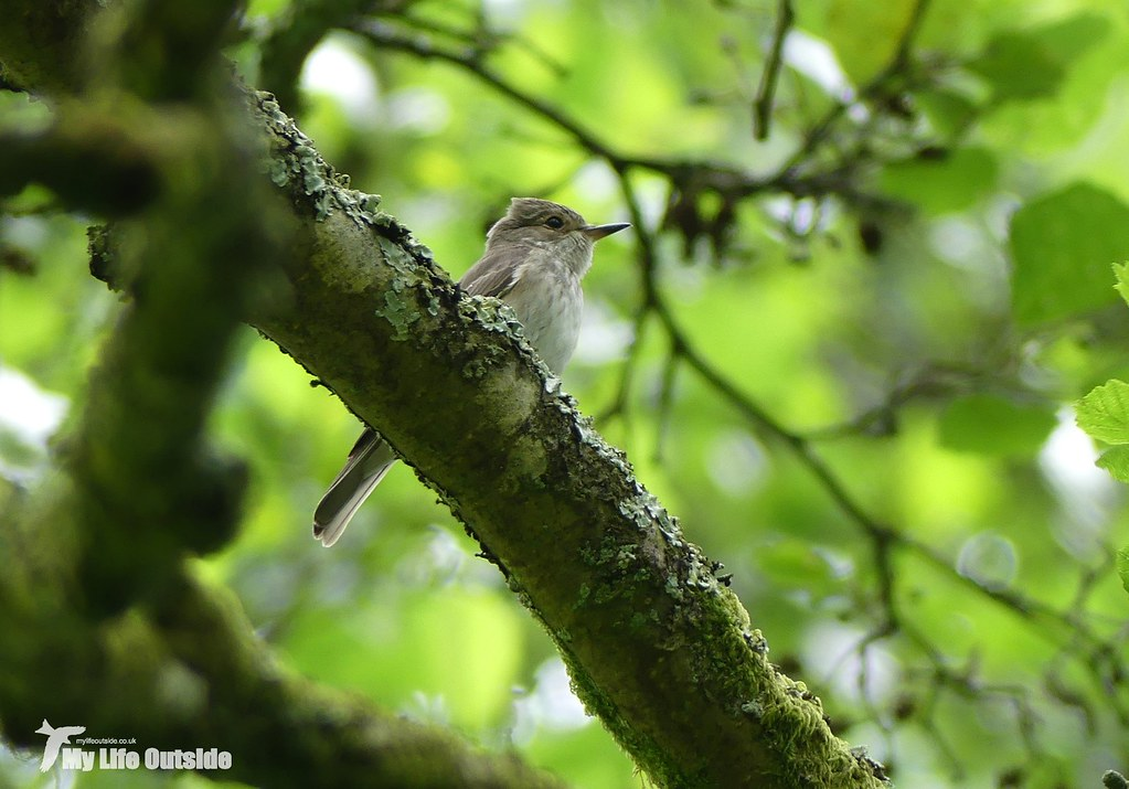 P1080721 - Spotted Flycatcher, Dinefwr