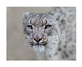 Snow Leopard at Big Cats Sanctuary | by Photoartitude