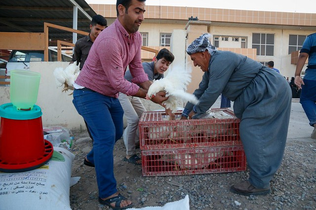 Hen distribution - Iraq
