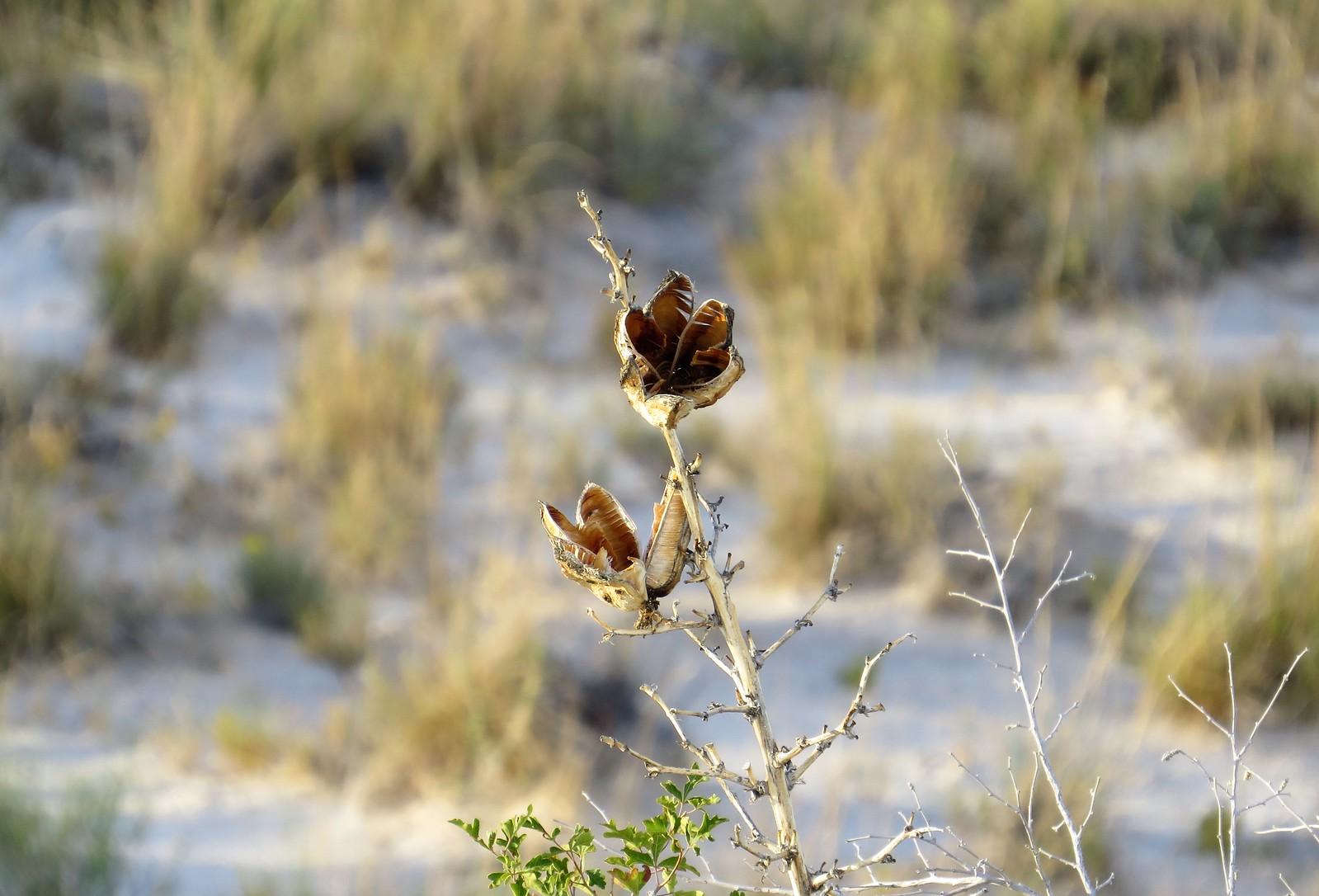 Flower, White Sands, New Mexico