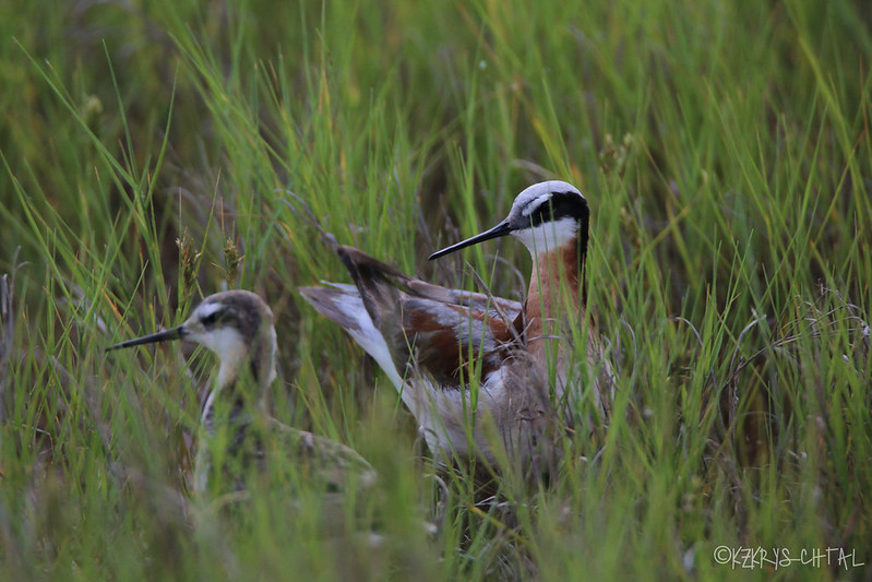 IMG_4405Wilson'sPhalaropes