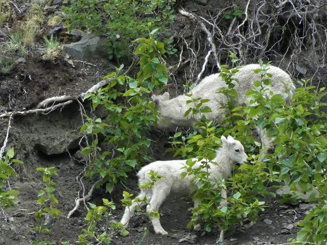 Carneros de Dall (Alaska)