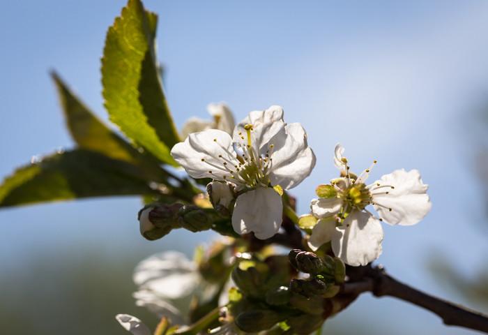 valkoinen kirsikankukka