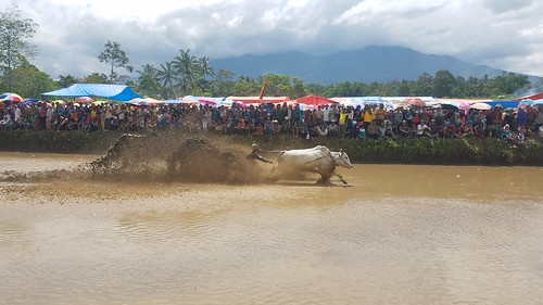 Cow Racing in West Sumatra