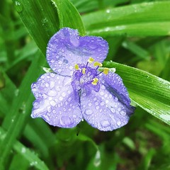 Spiderwort on drizzly day.