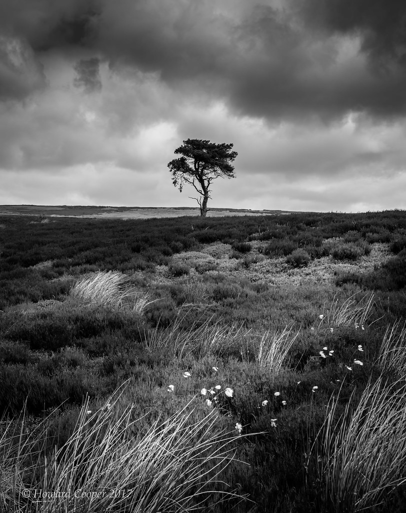 Tree north yorkshire moors by howard cooper
