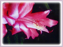 Lovely pink flower of Schlumbergera truncata (Christmas Cactus, Thanksgiving/Holiday Cactus, Zygocactus, Crab Cactus), 18 June 2017