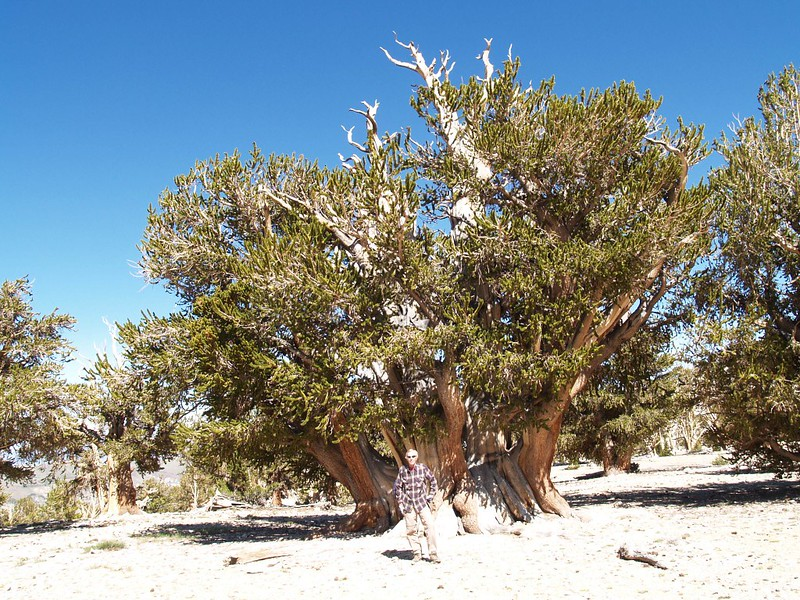 Me standing in front of The Patriarch, the largest Bristlecone Pine tree