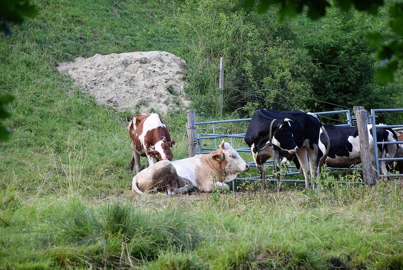 cows 11.06 (1)
