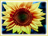 Helianthus annuus (Common Sunflower, Comb Flower, Golden Flower, St Bartholomew's Star)