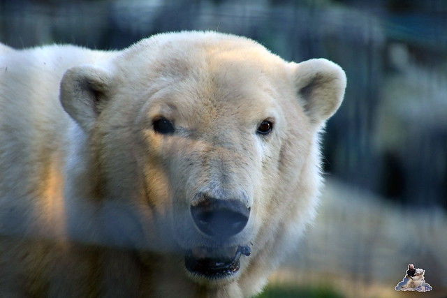 Eisbär Fiete im Sosto Zoo 27.05.2017 038