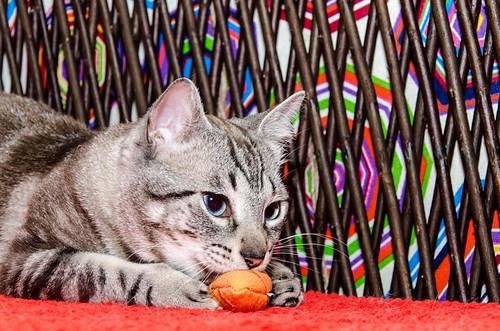 Tango, gato Siamés Tabby de colita corta esterilizado muy guapo, nacido en Enero´16, en adopción. Valencia. ADOPTADO. 34579753514_282b1d1882