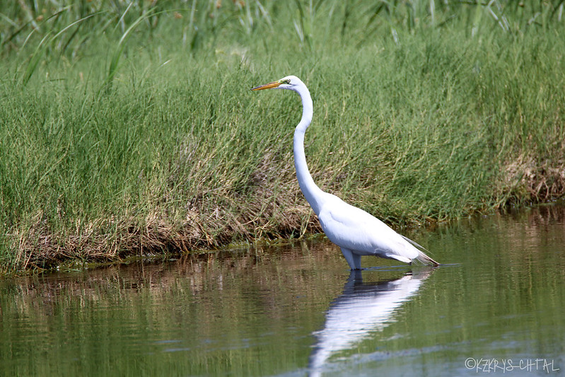 IMG_5315GreatEgret