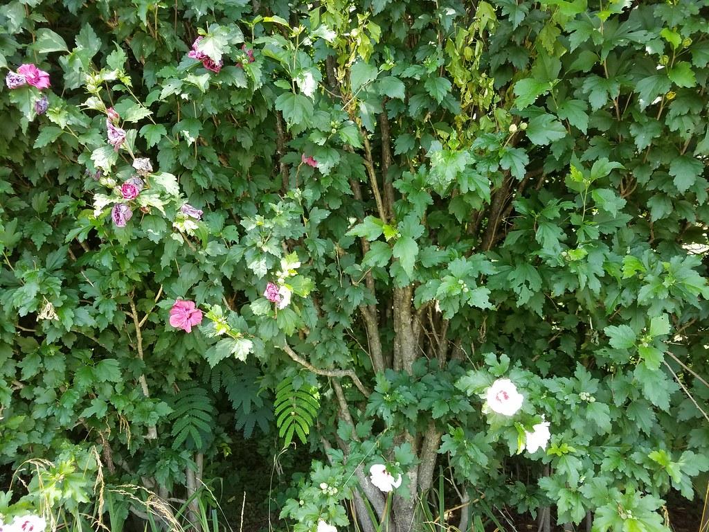未名空间MITBBS 置顶文章: 拍到了红木槿花和白木槿花