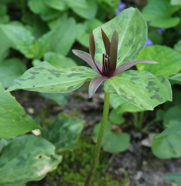 a single flower with a long stem, three green-and-purple leaves, and a purple flower partially opened