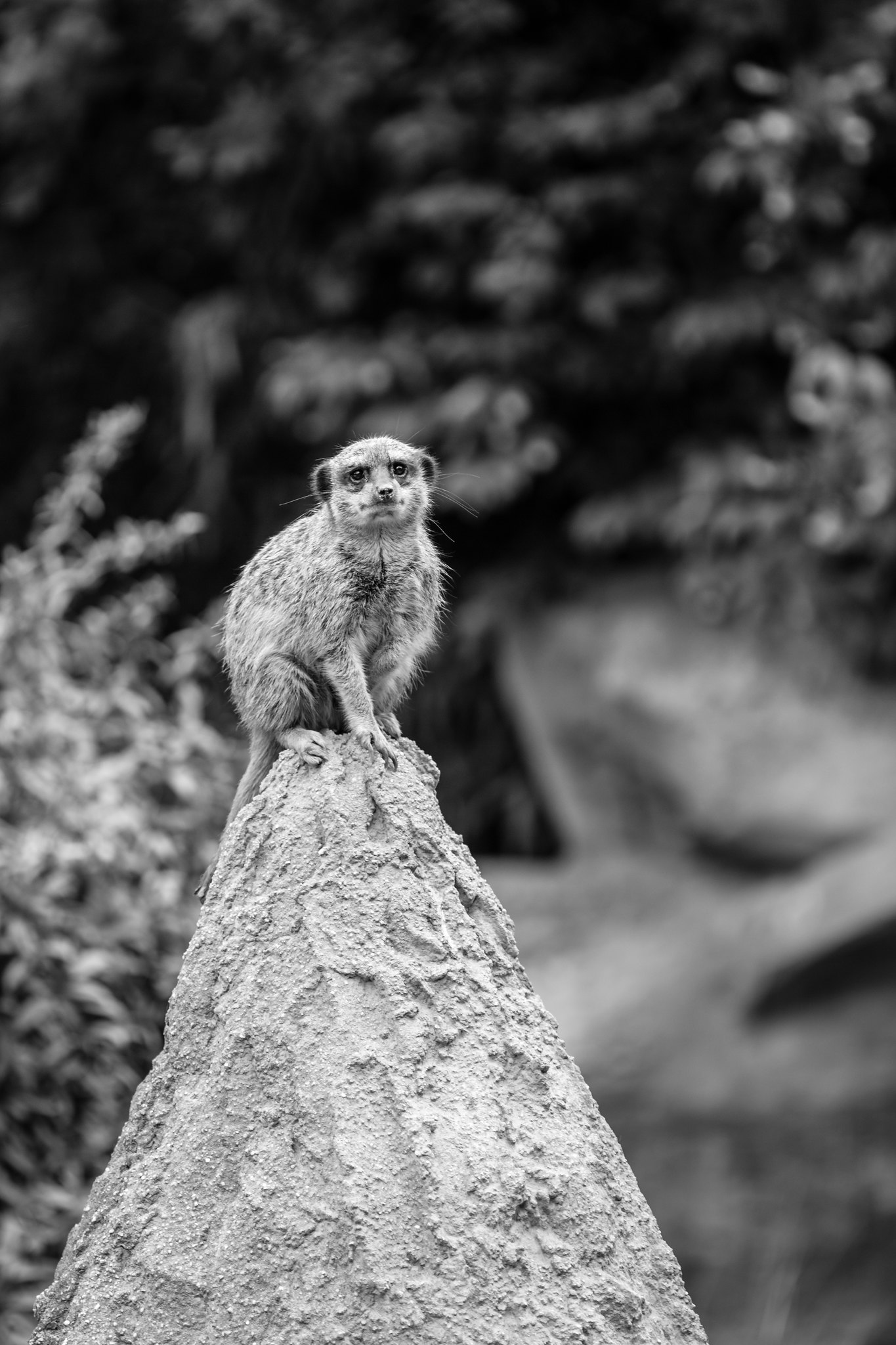 Meerkat - Zoo Leipzig