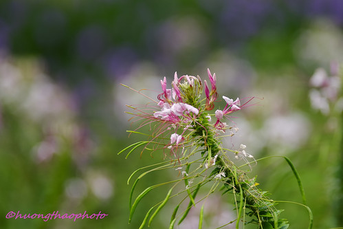 Blooming Cleome