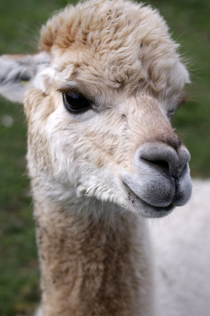 So Chic - Mayfield Alpacas Animal Park