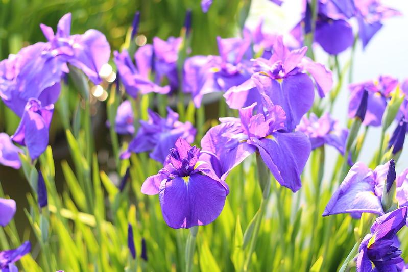 花菖蒲|Japanese iris